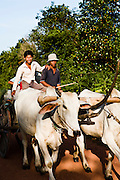 Hauling pepper harvest by bulloock cart. Kampot, Cambodia