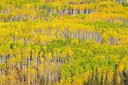 Autumn foliage in poplar (aspen) forest<br /> Grande Prairie<br /> Alberta<br /> Canada<br /> Grande Prairie<br /> Alberta<br /> Canada