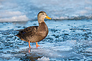 American Black Duck, Anas rubripes, male, Detroit River, Ontario