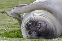 Female southern elephant seal, Mirounga leonina at Salisbury Plain on South Georgia Island.