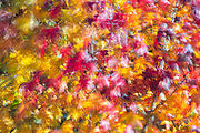 Leaves, showing a full spectrum of fall color, blow in the wind as they hang from a maple tree in Lynnwood, Washington.
