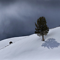 Bison in snow. Yellowstone National Park.