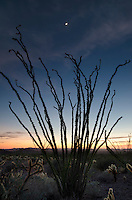 Moon above Ocotillo (Fouquieria splendens) silhouette, Kofa Mountains Wildlife Refuge Arizona
