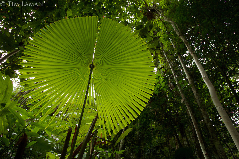 Fan palm details, Kali Batu Puti