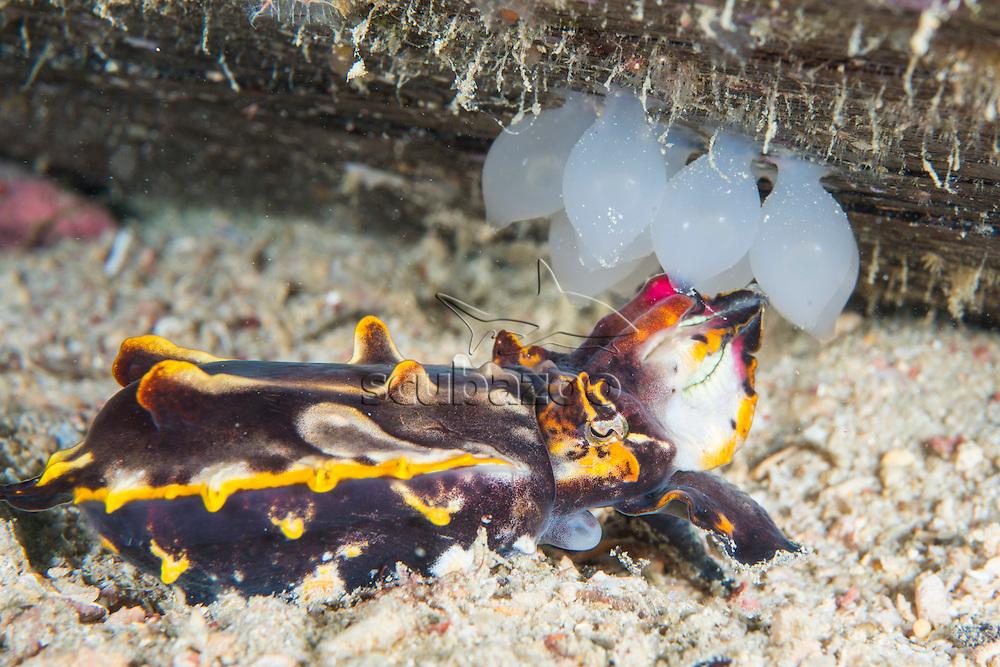 Flamboyant Cuttlefish, Metasepia pfefferi, tending to it's eggs, Mabul Island, Sabah, Malaysia, Borneo, South China Sea,