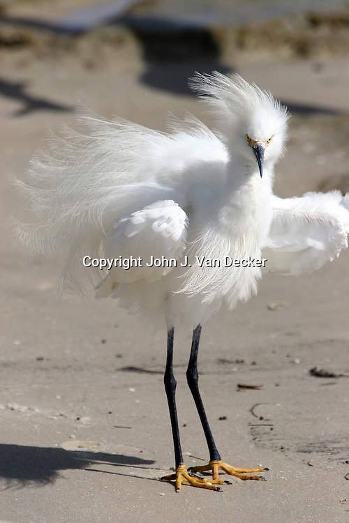Snowy Egret with courtship plumage (Bad Hair day)