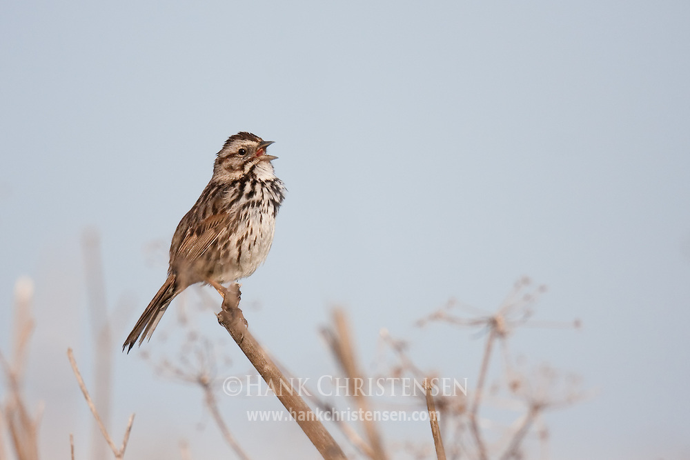 A song sparrow perches on the edge of a stick, singing his morning song