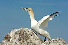 Northern gannet | Basstölpel
