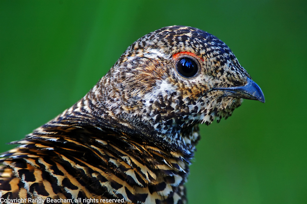 Spruce grouse hen in late summer. Northwest Peak Scenic Area in the Purcell Mountains, northwest Montana.