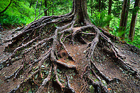 Exposed roots of trees.  Washington Cascades.
