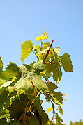 Israel, Judea Hills, Tzora winery and vineyards. A plot of Gewurtzstraminer grapes planted in terra cotta near Shoresh June, 6 weeks before harvest the clipping of the top branches can be seen