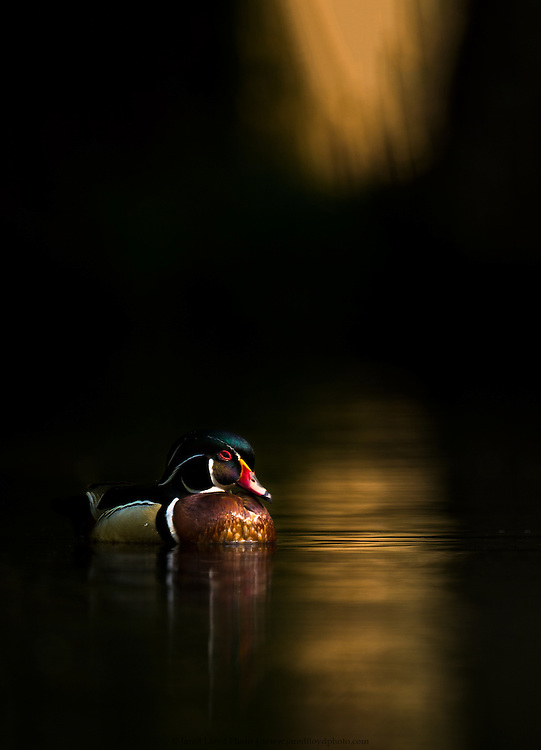 a drake wood duck swims into a golden shaft of light in a cypress swamp at sunrise