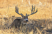 Trophy mule deer buck bedded in grassland habitat.