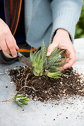 Dividing a succulent - Haworthia attenuata<br /> Removing young offsets with a knife