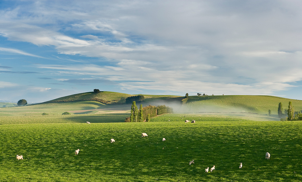 Sheep and lambs grazing in lush pasture, near Oamaru, Otago, New Zealand