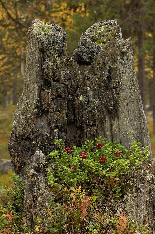 Lingonberry, Vaccinium vitis-idaea, Laponia UNESCO World Heritage Site, Lapland, Sweden