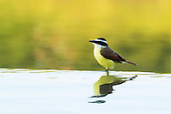 A great kiskadee stands at the edge of an infinity fountain, reflected in the still water, Puerto Vallarta, Mexico