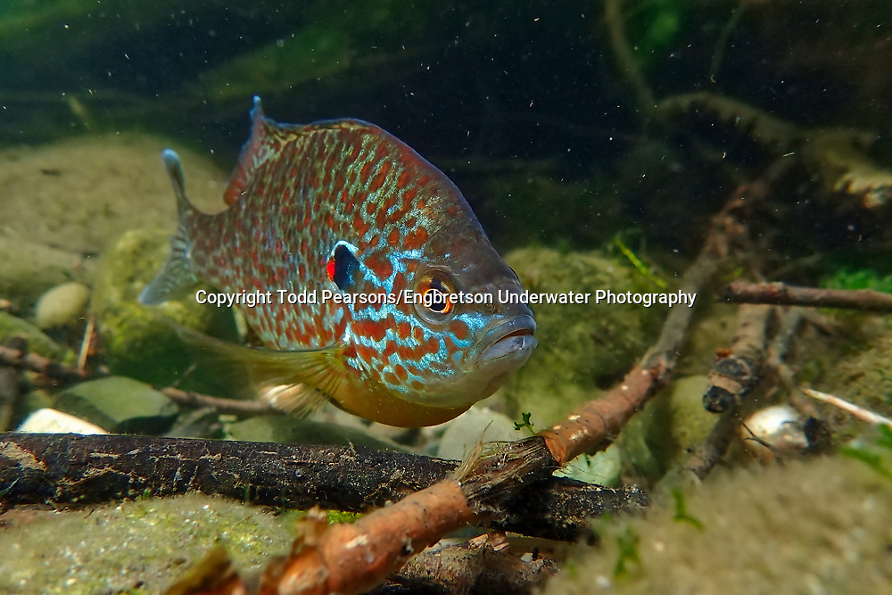Pumpkinseed Sunfish<br /> <br /> Todd Pearsons/Engbretson Underwater Photography