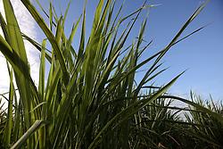 MAURITIUS FLIC EN FLAC 4MAY13 - Sugar cane field near Flic en Flac, Mauritius.<br /> <br /> <br /> <br /> <br /> jre/Photo by Jiri Rezac / Greenpeace