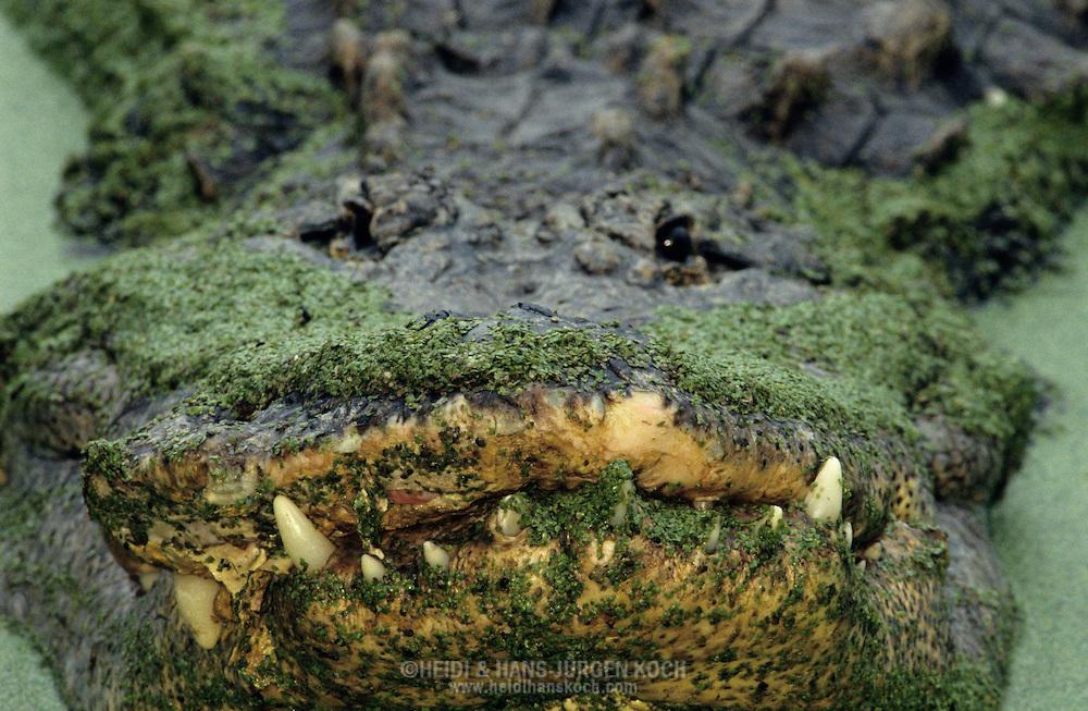 Vereinigte Staaten von Amerika, USA, Florida: amerikanischer Mississippi-Alligator (Alligator mississippiensis). Maul eines alten, maennlichen Alligators, der schon mehrere Zaehne verloren hat.   United States of America, USA, Florida: American Alligator, Alligator mississippiensis, old Alligator, mouth of an old male, lost teeth.  
