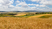 Wheat fields near Mt. Tabor village, northern  Isreal