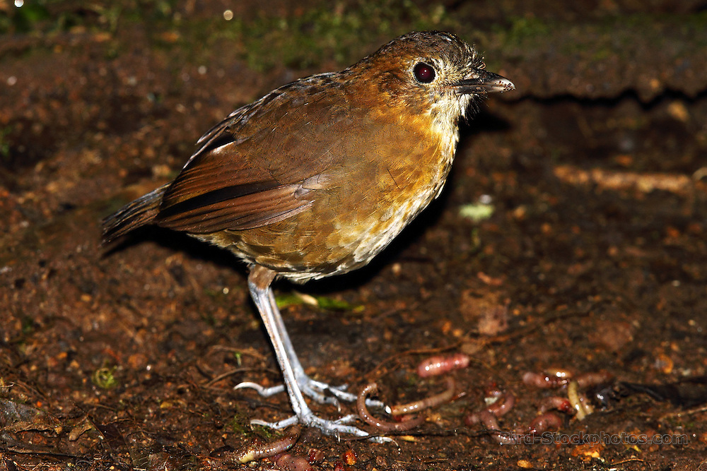 Brown-banded Antpitta, Grallaria milleri, Rio Blanco, Colombia, by Adam Riley