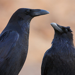 Two ravens in Death Valley National Park, CA.