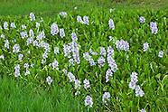 Pontederiaceae (Pickerelweed Family)