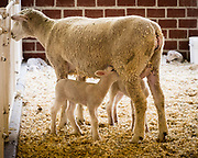 Baby lamb nursing on mother at a fair.