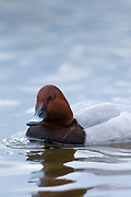 Common Pochard, Aythya ferina, ducks at Welney Wetland Centre, Norfolk, UK