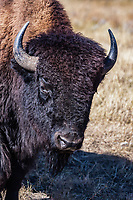 Bull bison (Bison bison) roam freely through the rolling hills at Custer State Park, South Dakota, USA