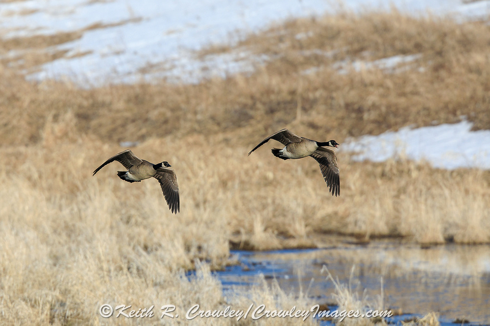 A pair of Canda geese fly low and vocalize over late season wetland habitat.