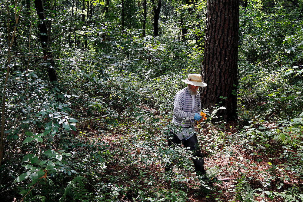 Woody Collins, of Sheldon, carries a handful of Chanterelles mushroom while out picking with friend William Thorpe, not pictured, near Collins property on September 17, 2014.