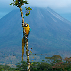 A colorful macaw perched on a tree in front of Arenal volcano in Costa Rica.