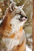 USA, Kalispell (MT).Grey fox (Urocyon cinereoargenteus) (C)