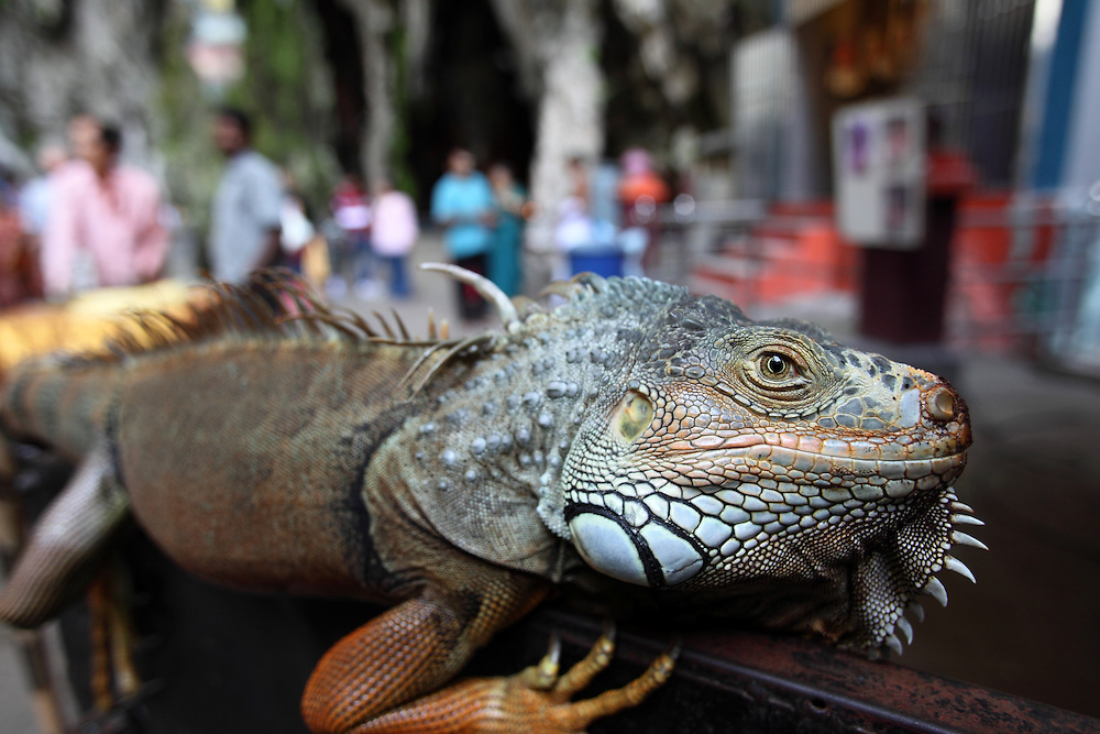 Green Iguana (Iguana iguana) at Batu Caves in Kuala Lumpur