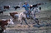 Idaho cowboy on appaloosa cutting cows