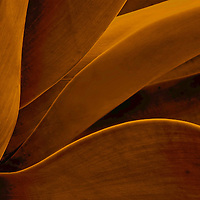 Close up of Agave leaves