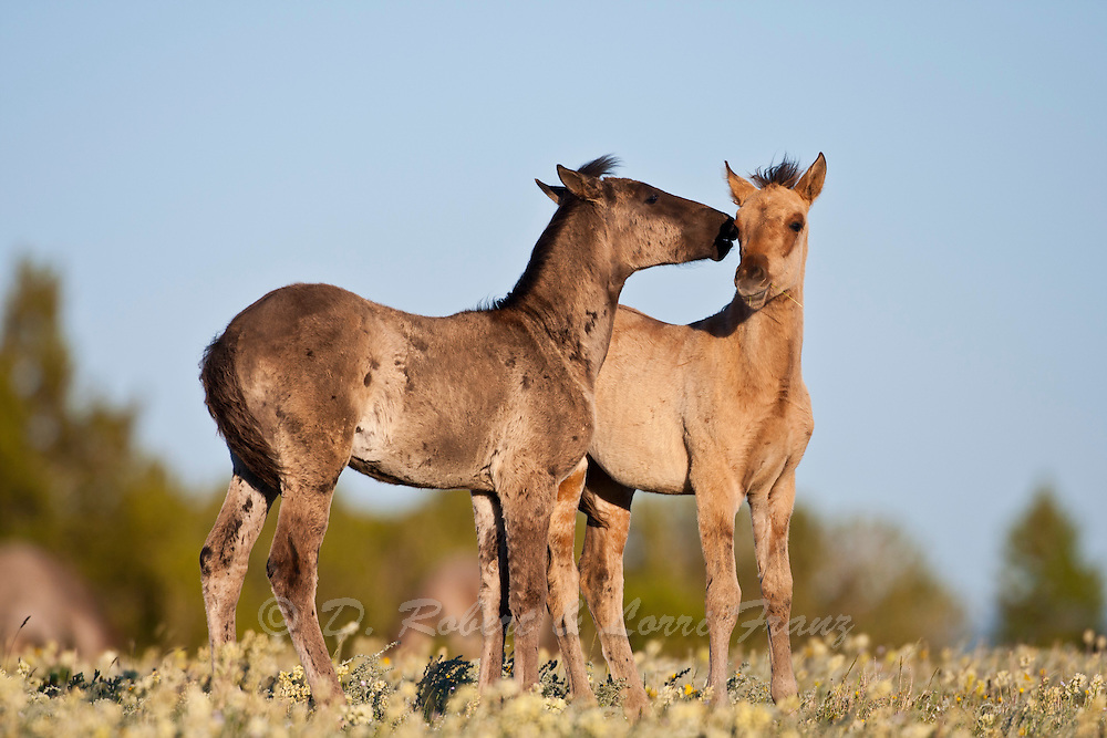 Wild mustang foals playing