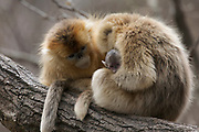 Golden snub-nosed monkey (Rhinopithecus roxellana qinlingensis) females with newborn in tree, Zhouzhi, Shaanxi, China.
