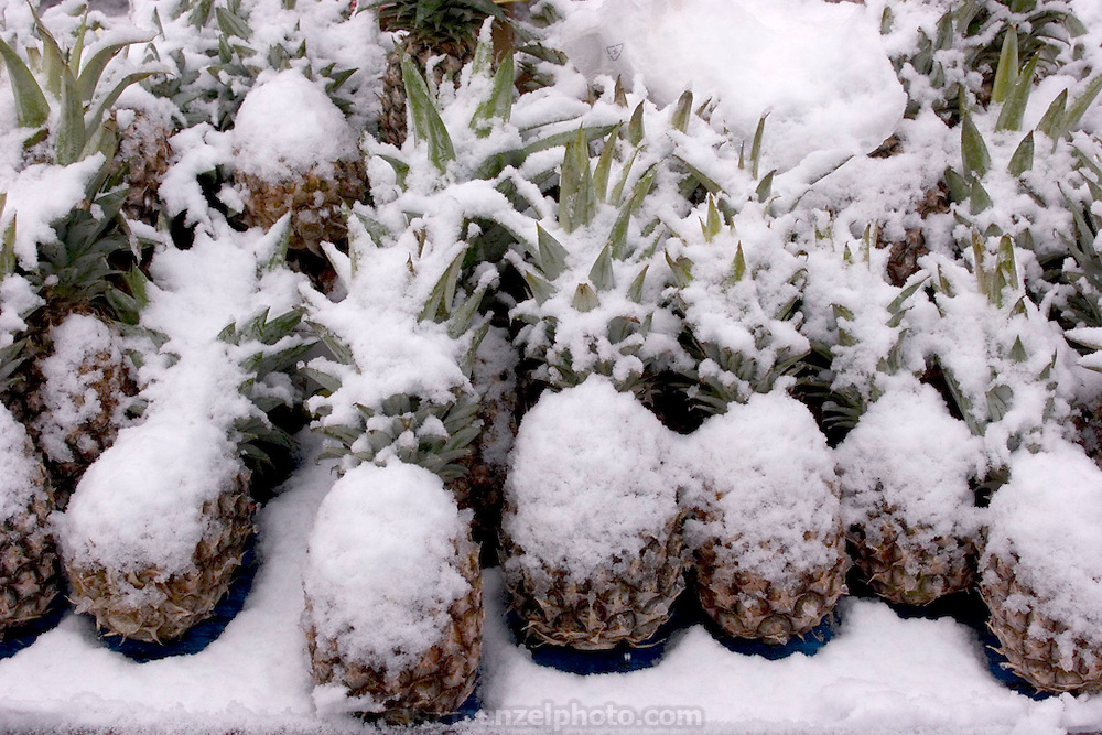 Pineapples blanketed by a November snowfall at the Saturday outdoor-market in Ahrensburg, Germany. (Supporting image from the project Hungry Planet: What the World Eats.)