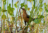 Boat-tailed Grackle (Quiscalus major), collecting nesting material, Arthur J Marshall Natinal Wildlife Reserve Florida