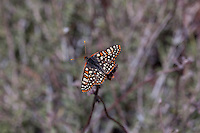 Euphydryas chalcedona hennei (Chalcedon Checkerspot) at Cactus Spring, Riverside Co, CA, USA, on 15-Apr-11