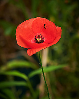 Hoverfly on a Poppy Flower. Image taken with a Nikon D850 camera and 105 mm f/2.8 VR macro lens