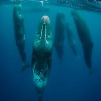 Sleeping sperm whales, Physeter macrocephalus, Pico Island, Azores, Portugal