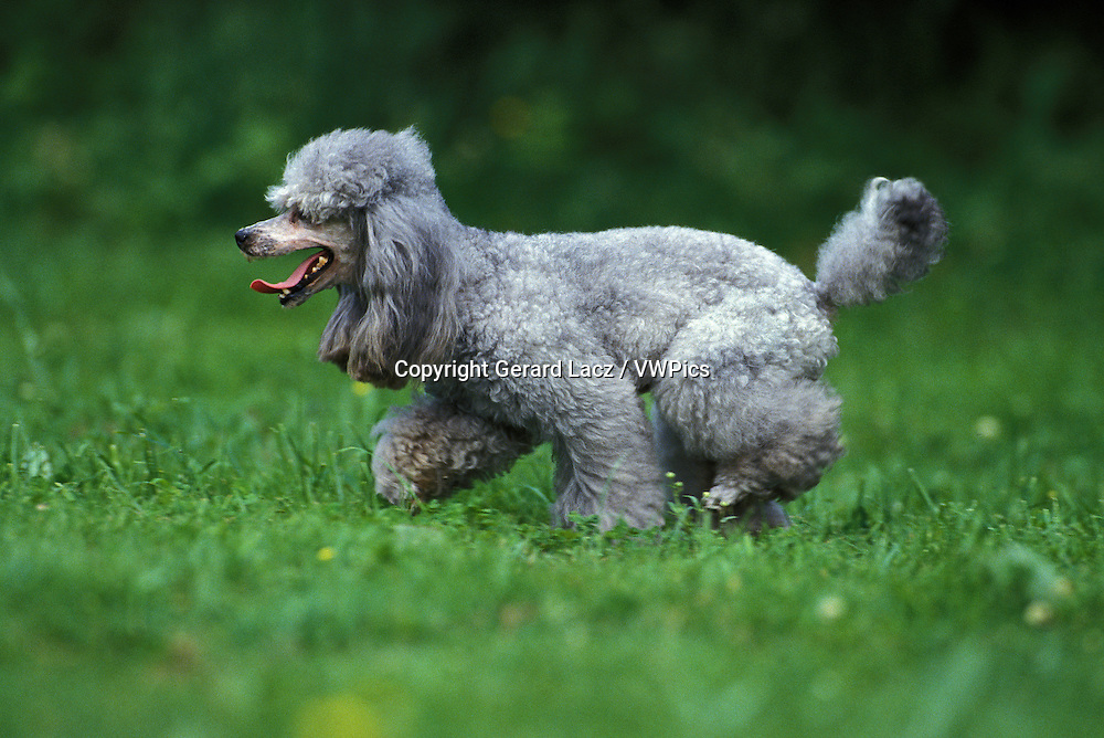 Grey Standard Poodle, Adult standing on Grass