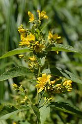 Grote wederik, Lysimachia vulgaris