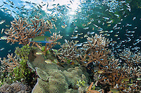 Beneath a Mangrove forest, Anthias, Damsels, and a Wrasse feed in the current above a variety of healthy Hard Corals<br /> <br /> Shot in Indonesia