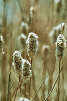 Cattail that never dried before the winter storms are all clumped together but as the spring sun warms them they will dry and release their seeds in the marsh.