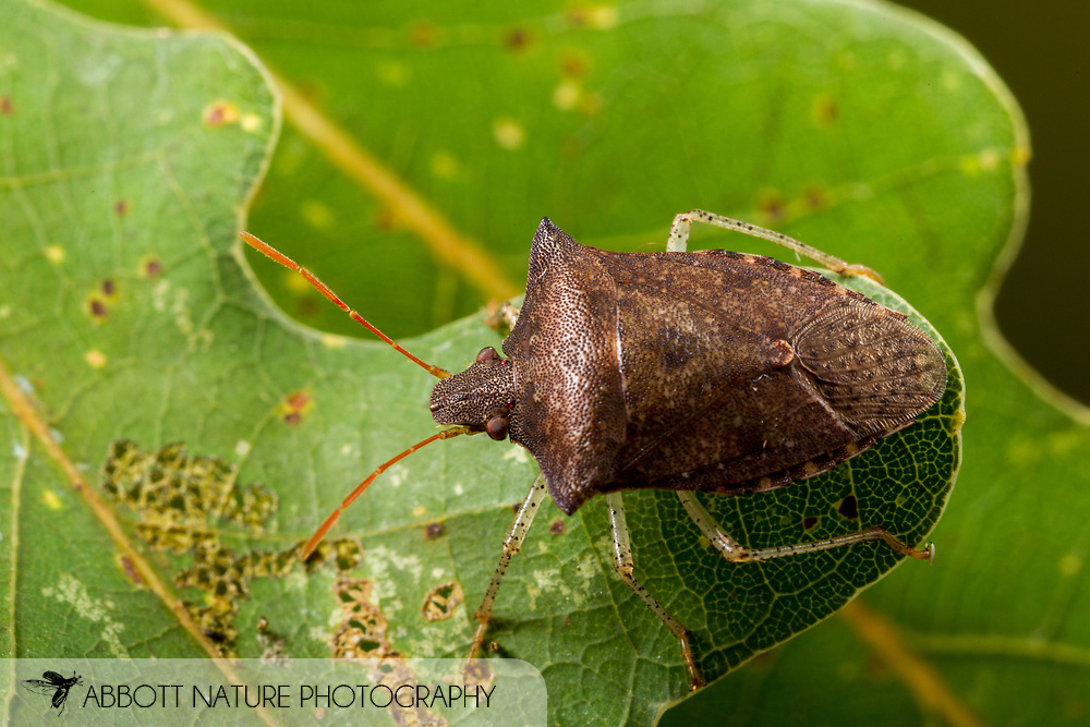 Dusky Stink Bug (Euschistus tristigmus)<br /> United States: Alabama: Tuscaloosa Co.<br /> Tulip Tree Springs off Echola Rd.; Elrod<br /> 17-Jul-2016<br /> J.C. Abbott #2847